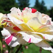 Roses White Pink Yellow Rose Flowers 3 Rose Garden Art Baslee Troutman Art Print