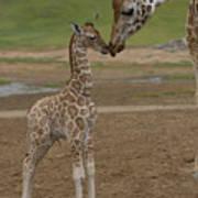 Rothschild Giraffe Giraffa Art Print