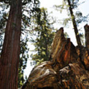 Round Meadow Giant Sequoia Art Print