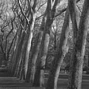Row Trees Art Print