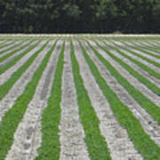Rows Of Crops Art Print