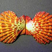 Royal Cloak Scallop Seashell  Art Print