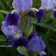 Royal Purple Iris's Art Print
