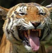 Royal Tiger Art Print