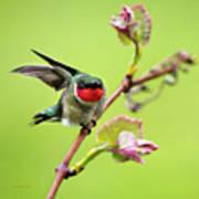 Ruby Garden Hummingbird Art Print