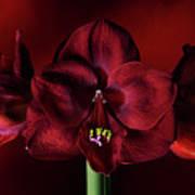 Ruby Red Amaryllis Art Print