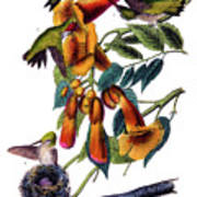 Ruby Throated Humming Bird Audubon Birds Of America 1st Edition 1840 Octavo Plate 253 Art Print