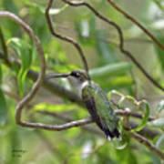 Ruby-throated Hummingbird - Female Art Print