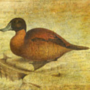 Ruddy Duck Art Print