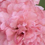 Ruffled Pink Rose Art Print