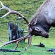 Rutting Bull Elk Art Print