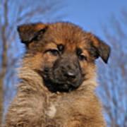 Sable German Shepherd Puppy II Art Print by Sandy Keeton