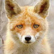 Sad Eyed Fox Of The Lowlands - Red Fox Portrait Art Print