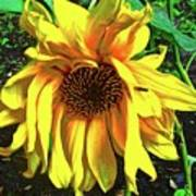 Sad Sunflower Art Print