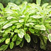 Sage Plant Art Print