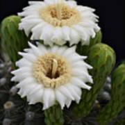 Saguaro Blooms II Art Print