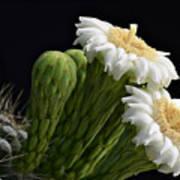 Saguaro Blooms  Art Print