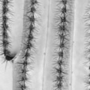 Saguaro Cactus Close-up  Bw Art Print