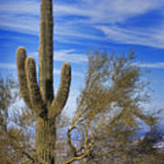 Saguaro Cactus Of The Desert Southwest Art Print