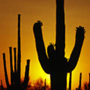 Saguaro Sunset Art Print by Sandra Bronstein