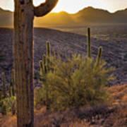 Saguaros At Sunset Art Print
