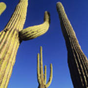 Saguaros Dwaft One Another Art Print