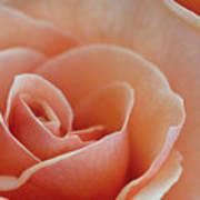 Sahara Light Tan Cream Rose Art Print