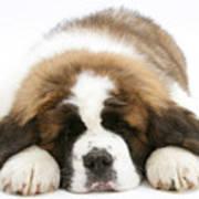 Saint Bernard Puppy Sleeping Art Print