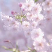Sakura Trees Art Print