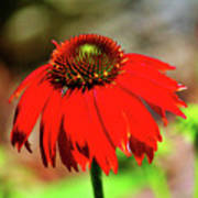 Salsa Red Coneflower Art Print