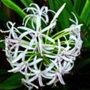 Samoan Spider Lily Art Print