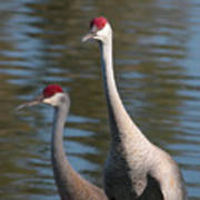 Sandhill Crane Couple By The Pond Art Print