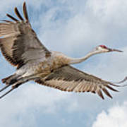 Sandhill Crane In Flight Art Print