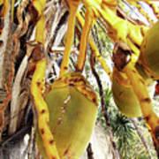 Sanibel Coconuts Gp Art Print