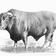 Santa Gertrudis Bull Art Print