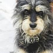 Santorini Dog Art Print