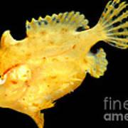 Sargassum Anglerfish Art Print
