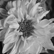 Satin Flora Bw Art Print