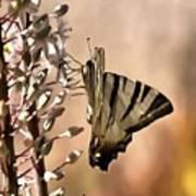 Scarce Swallowtail Feeding Art Print
