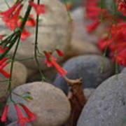 Scarlet Bugler Blossoms On Rocks Art Print