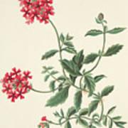Scarlet Flowered Vervain Art Print