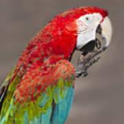 Scarlet Macaw - 2 Art Print