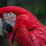 Scarlet Macaw Art Print by Fabio Giannini