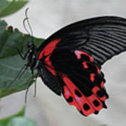 Scarlet Mormon Butterfly #2 Art Print