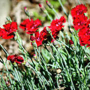 Scarlet Red Dianthus Art Print