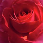 Scarlet Rose Flower Art Print