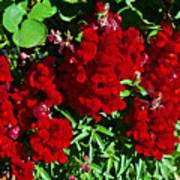 Scarlet Snapdragons At Pilgrim Place In Claremont-california  Art Print