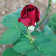 Scarlett's Rose Art Print