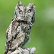 Scops Owl Art Print