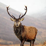 Scottish Red Deer Stag - Glencoe Art Print